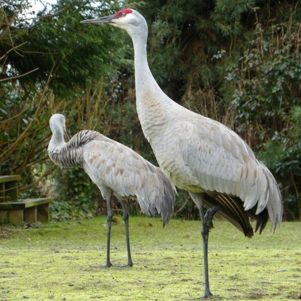 Cranes Reifel Bird Sanctuary