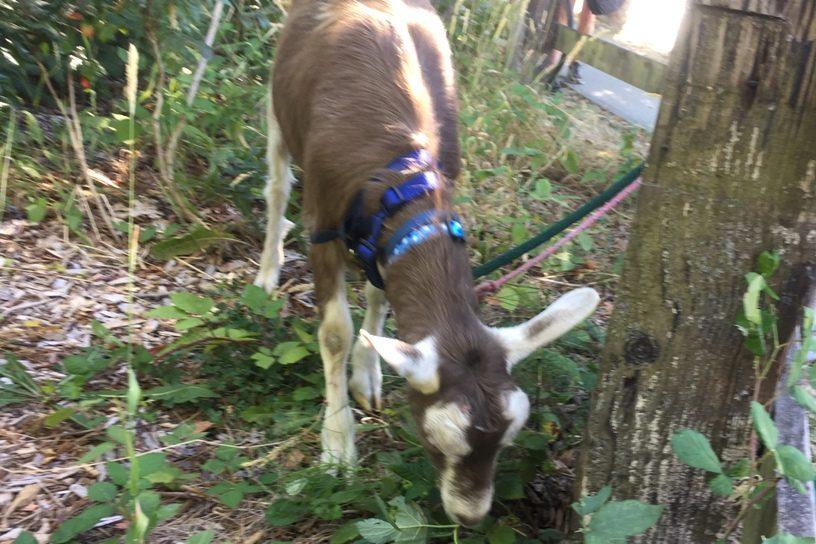 Logan the goat