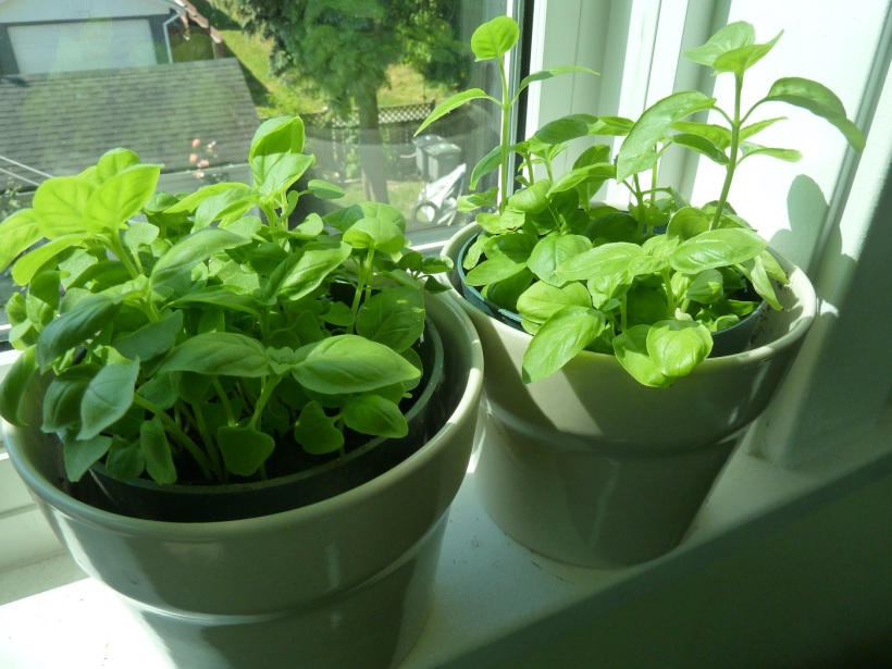 Plant basil herb