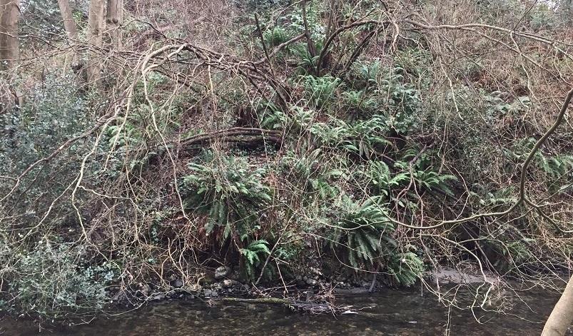 A cascade of sword ferns above Still Creek.