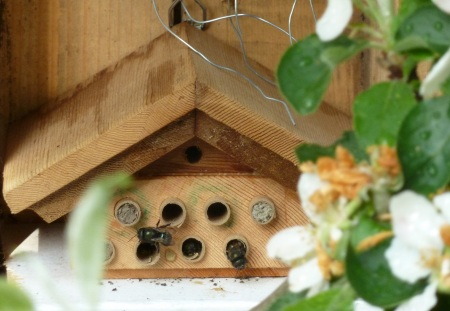 Mason bees working